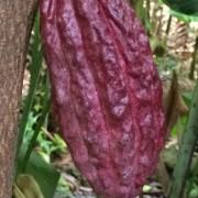"""Cabosse de cacao """"Ile de la Réunion"""""""